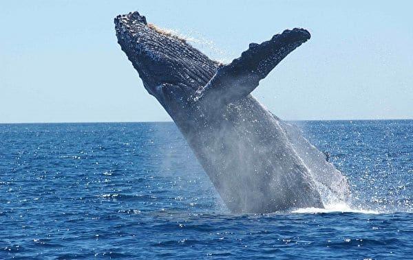 cá voi, cá voi lưng gù