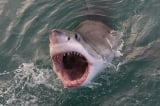 cá mập, cá mập tấn công, vợ cứu chồng