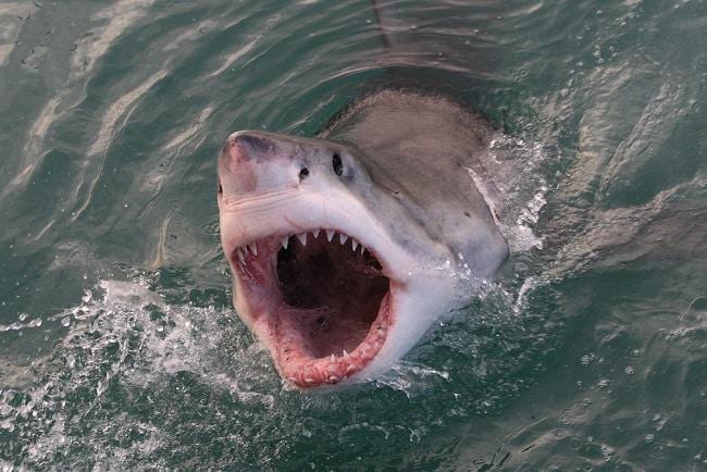 cá mập, cá mập tấn công