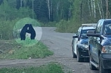 gấu đen