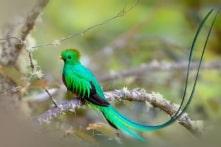 Loài chim diễm lệ thà chết cũng không chịu bị nhốt trong lồng