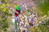 Loài chim Quetzal