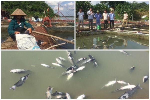 thủy điện Hòa Bình, cá lồng chết