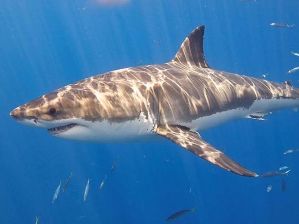 Cá mập trắng lớn. (Ảnh: Flickr)