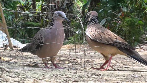 chim gáy