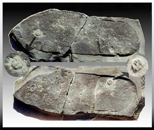 Dấu chân hóa thạch dẫm lên một con bọ ba thuỳ