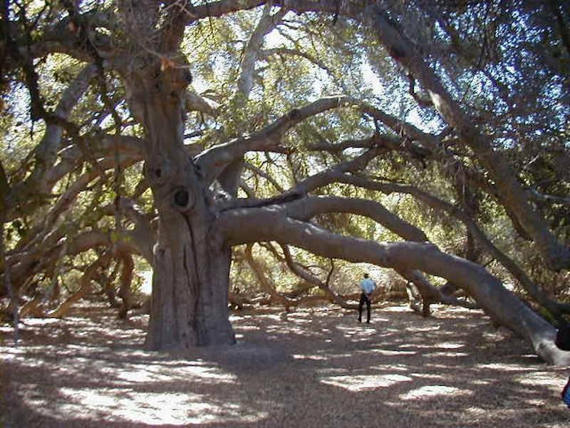 Những cái cây đặc biệt của nước Mỹ, biểu tượng nước Mỹ, cây cổ thụ