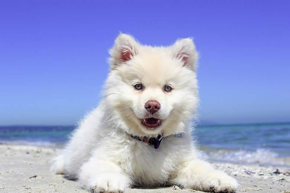Bãi Biển, Con Chó Con, Con Chó, Finnishlapphund