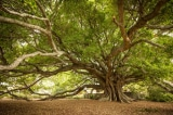 Tổng thống Kenya, cây cổ thụ
