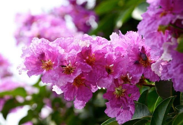 Hoa bằng lăng (Ảnh: Sưu tầm)