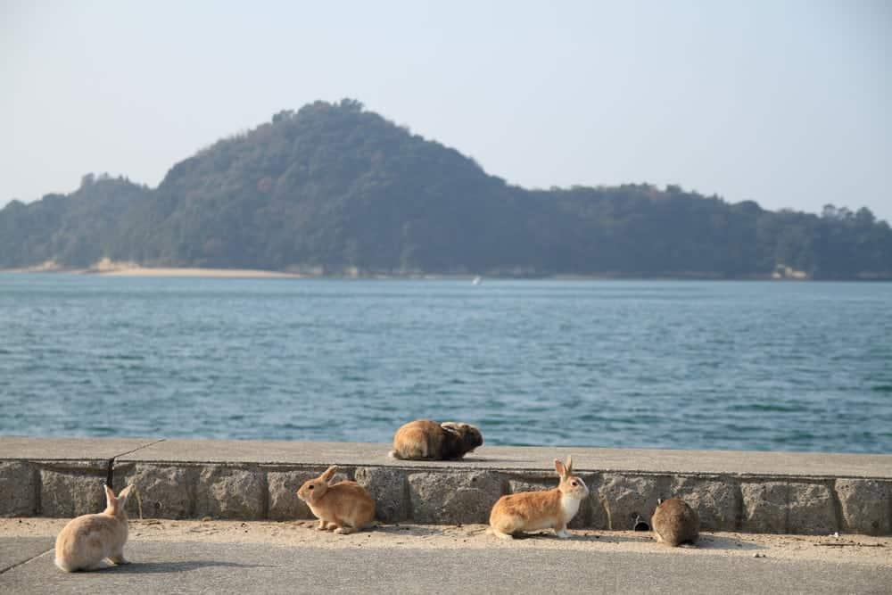 Hòn đảo Ōkunoshima, Đảo thỏ