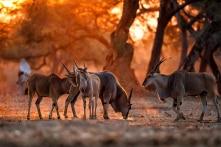 Thời kỳ trì trệ của con người, cơ hội của động vật hoang dã