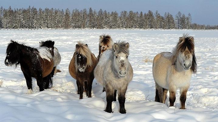 ngựa Yakutian