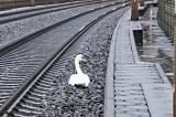 Thiên nga tiếc thương bạn đời khiến 23 chuyến tàu ở Đức bị hoãn