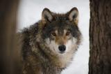 Chú chó dũng cảm chiến đấu với chó sói để cứu cậu chủ nhỏ