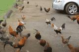 Hàng nghìn con gà hoang 'xâm chiếm' hòn đảo ở Hawaii
