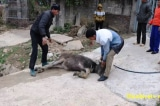 Gần 1.100 gia súc chết vì rét, dự báo con số thiệt hại tiếp tục tăng