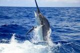 cá cờ xanh đại tây dương