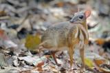 """Loài """"hươu chuột"""" nhỏ nhất thế giới chỉ nặng từ 1-2 kg"""