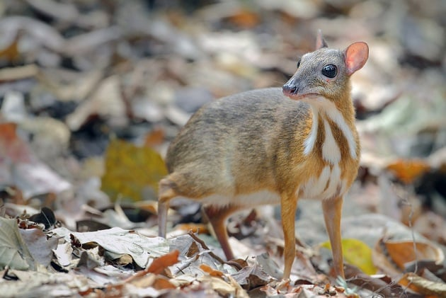 Hươu chuột Java