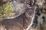 con linh miêu, mèo rừng