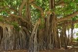 cây đa báo mộng