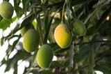 """""""Người xoài"""" Ấn Độ lai ghép được cây xoài cho ra hơn 300 giống khác nhau"""