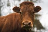 Con bò bỏ trốn khỏi lò mổ được hàng chục nghìn người xin tha mạng