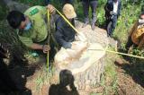 Rừng thông cổ thụ bị triệt hạ ngay trung tâm Đà Lạt