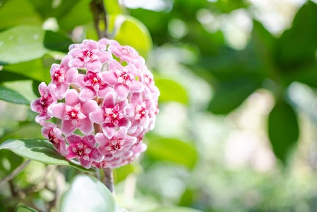 hoa lan cẩm cù, hương thơm tự nhiên