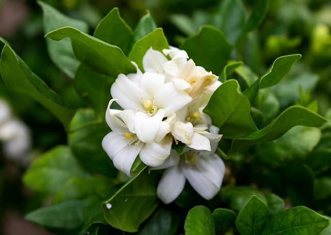 hoa nhài, hương thơm tự nhiên