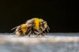 Huấn luyện ong phát hiện virus corona chỉ trong vòng vài giây