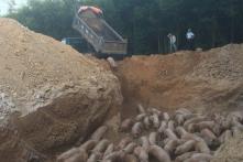 Quảng Trị: Tiêu hủy gần 1.000 con lợn nhập khẩu bị nhiễm dịch tả lợn Châu Phi