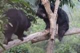 4 chú gấu ngựa được giải cứu khỏi rạp xiếc ở Việt Nam
