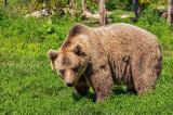 Cô gái 17 tuổi lao vào đẩy con gấu to lớn để cứu những chú chó