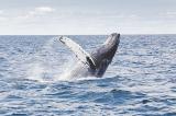 Hy hữu người đàn ông Mỹ thoát chết dù đã nằm trong miệng cá voi