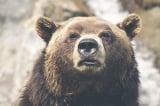 gấu hoang dã