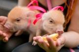 Độc đáo chuỗi cafe với những chú lợn tí hon tại Nhật Bản