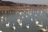 Dịch cúm gia cầm H5N8 tại Thiểm Tây làm chết 4249 con chim hoang dã