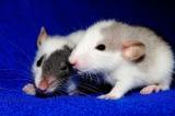 Thí nghiệm đáng sợ mới của TQ: Khiến chuột đực mang thai và sinh con
