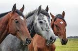 Ngựa đến tham dự Olympic bằng cách nào, có cần hộ chiếu không?