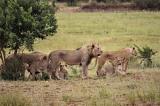 con cua dọa sư tử