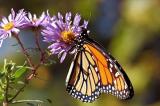 Người phụ nữ Mỹ tốt bụng sửa lại đôi cánh gãy cho chú bướm vua
