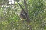"""Giải cứu chú chó con bị khỉ """"bắt cóc"""" lên cây"""