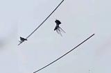 Cảnh sát dùng drone để cứu chim bồ câu bị treo ngược trên dây điện