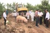 Dịch tả lợn châu Phi bùng phát cùng COVID-19, người chăn nuôi đứng bên bờ phá sản