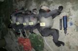 Quảng Ngãi: 5 cá thể voọc chà vá chân xám nằm trong sách đỏ bị bắn chết